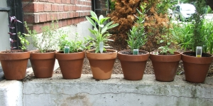 Photograph of potter herbs lined up (c) K. Vander Straeten