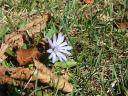 Blue flower at Larz Anderson park, oct 07 (c) Katrien Vander Straeten