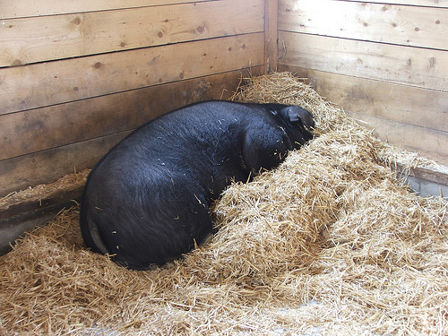Hog at Drumlin Farm (c) Katrien Vander Straeten