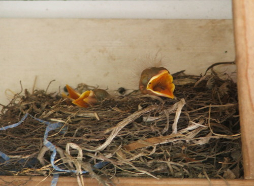 Robin's nest in carport, 7 June 2008 (c) Katrien Vander Straeten