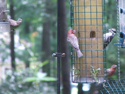 Bird feeder: House Finches courting (c) Katrien Vander Straeten, 2008