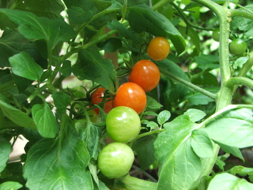 Cherry tomatoes ripening, July 2008 (c) Katrien Vander Straeten
