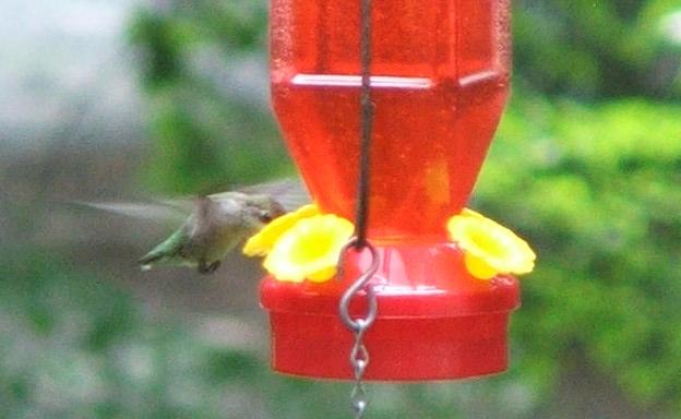 Ruby-Throated Hummingbird (c) Katrien Vander Straeten, 2008