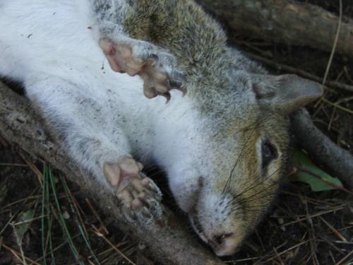 Dead squirrel (c) Katrien Vander Straeten