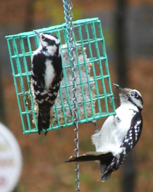 Downy and Hairy Woodpecker (c) Katrien Vander Straeten, october 2008