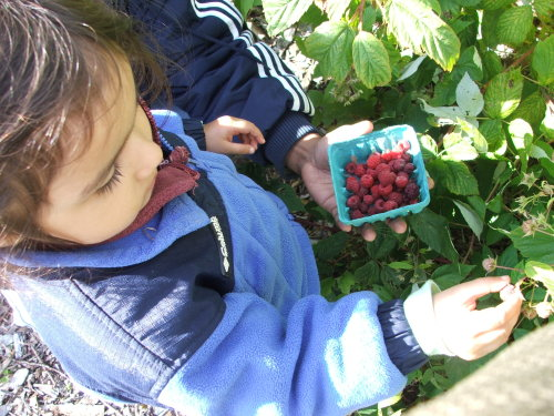 Amie picking raspberries at Drumlin (c) Katrien Vander Straeten