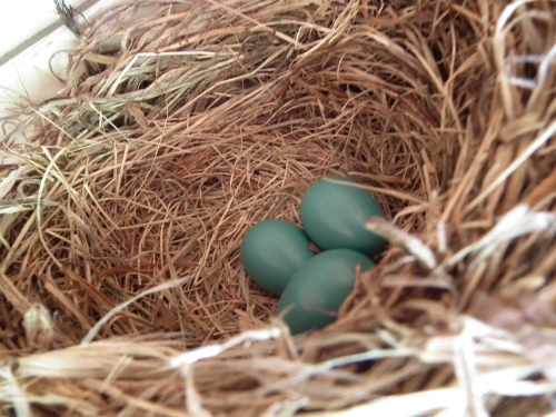 Robin's eggs
