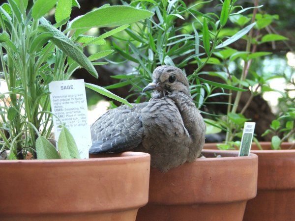 Color Photograph of Pigeon on herb (c) Katrien Vander Straeten
