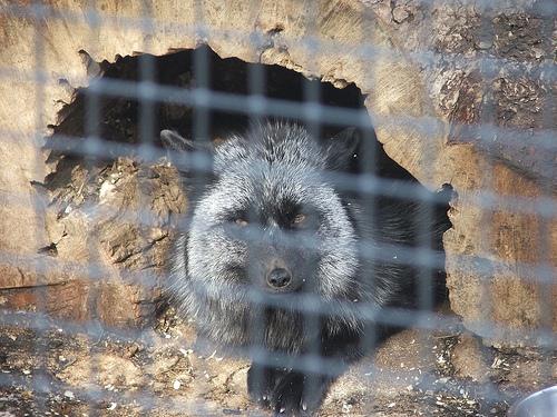 Fox at Drumlin Farm (c) Katrien Vander Straeten