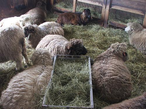 Sheep at Drumlin Farm (c) Katrien Vander Straeten