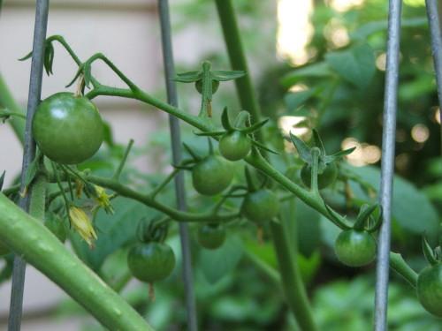 unripe cherry tomatoes (c) Katrien Vander Straeten