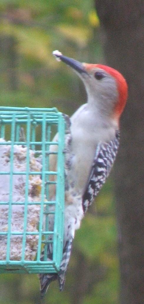 Red-Bellied Woodpecker, October 2008 (c) Katrien Vander Straeten