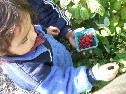 Amie picking raspberries at Drumlin (c) Katrien Vander Straeten